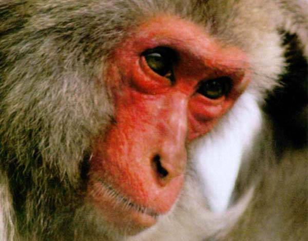 Makakové při zvukovém dorozumívání využívají část mozku, která je adekvátní lidskému řečovému centru.