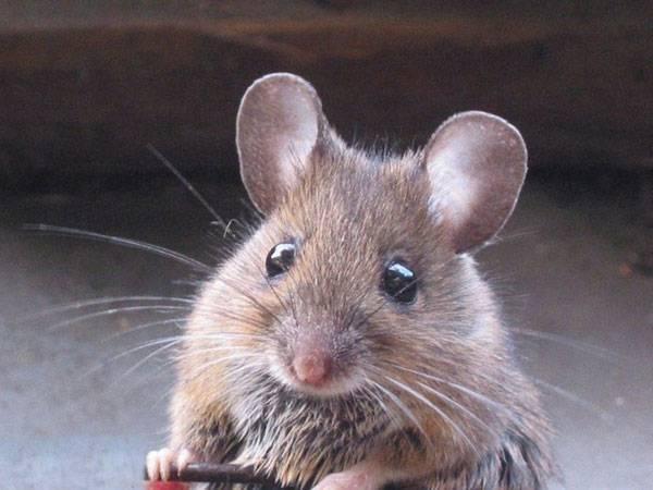 Dědičnost funguje i bez genů! Jak se barví myši? Francouzští genetici z University of Nice Sophia Antipolis chovají hnědé myši s bílou špičkou ocásku a bílými tlapkami.