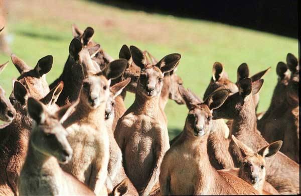 Když se řekne Austrálie, tak si Středoevropan automaticky vybaví klokana. Tento vačnatec je odnepaměti neodmyslitelným symbolem australského kontinentu. Jenže, co se symbolem, když se začne přemnožovat?