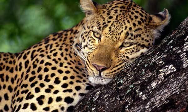 Princip utváření složitých obrazců u dospělých levhartů a jaguárů je pro vědce záhadou už dlouhá staletí. Problém se možná nakonec podařilo rozlousknout až letos v létě matematikům z tchajwanské Národní univerzity Chung-Hsing v Taichungu.