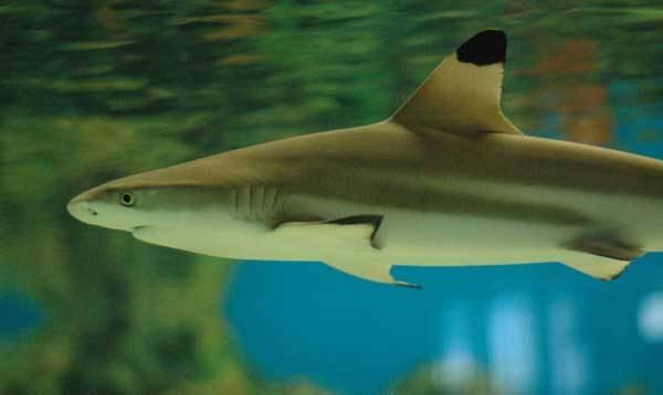 Žraloci jsou ohroženi vyhubením. Jejich populace devastuje lov motivovaný honem za údajným lékem proti rakovině vyráběným  ze žraločích chrupavek.