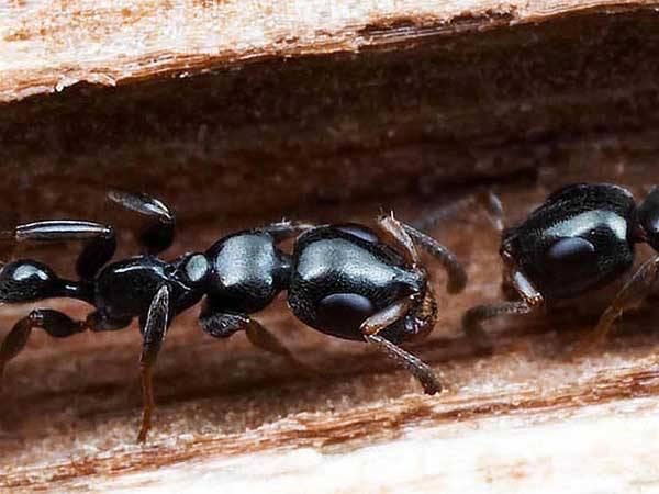 V Americe se přemnožili mravenci. Na této zprávě by možná nebylo nic zvláštního, až na to, že vědci přišli na originální způsob, jak podobnému přemnožení zabránit.