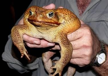 Australané chytili ropuchu o velikosti malého psa.