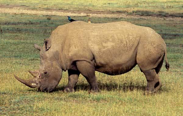 """Nosorožci vždy patřili k největším suchozemským obyvatelům této planety. Kdysi obývali lesy i pláně ve velkém množství, dnes jsou ale zahnáni do """"slepé uličky"""" a hrozí jim vyhynutí. Podle nejnovějších údajů jich ve volné přírodě přežívá již jen pár stovek kusů."""