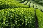 Zelený čaj bývá vnímán jako nápoj, který lidskému zdraví téměř dokonale prospívá. Ale i zde platí, že všeho moc škodí.