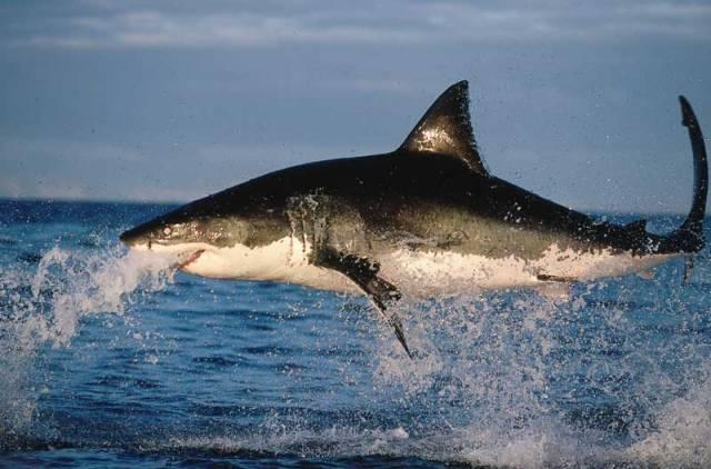 Film amerického režiséra Stevena Spielberga Čelisti přinesl žraloku bílému (carcharodon carcharias) jen zkázu.