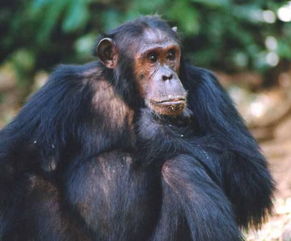Ozbrojení šimpanzi Takhle lovili naši předci Šimpanzi žijící v africké savaně byli přistiženi při lovu kořisti za pomoci oštěpů.