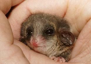 Australský vakoplch prospal celý rok a ještě dva dny k tomu.