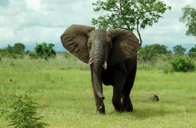 Britští etologové zjistili, že sloni čichem rozliší masajského válečníka od neškodného farmáře.