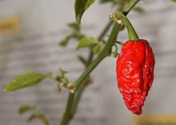 Dvakrát pálivější než dosavadní rekordman Nejpálivější paprika na světě Vědci z Mexické státní univerzity v tzv. Scovilleho testu pálivosti stanovili, že indická paprika Bhut Jolokia obsahuje jeden milion Scovilleho jednotek pálivosti (SHU).