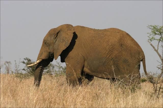 Jeden ze symbolů černého kontinentu, slon africký, se stává stále častěji terčem pytláků.