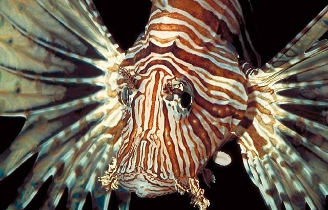 Lidé na pobřeží Indického oceánu znají rozličné mořské potvory. Stejný děs jako gangsteři či všehoschopní překupníci u nich vyvolávají mořští živočichové, kteří se dovedou maskovat tak dokonale, že je přehlédne i ostřílený potápěč.
