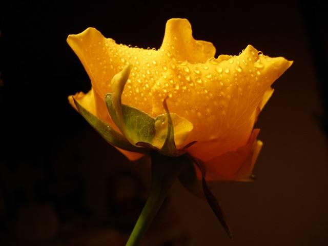 Za nádherou orosené královny květin s ostrými trny vězí po staletí záhada. Před nedávnem ji rozlouskli čínští biologové. Struktura okvětních lístků růže si umí podržet kapky jemnými drápky. Podobné chování je ve světě rostlin značně pozoruhodné.