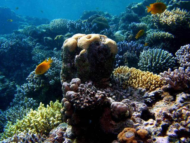 Oceánologové bubnují na poplach. Korálů ve všech světových mořích a oceánech ubývá neskutečným tempem. Viníkem je podle vědců v drtivé většině případů člověk. Jak tím, že přispívá rozvojem průmyslu ke globálnímu oteplování, tak znečišťováním vody a v neposlední řadě stále se zvyšující turistickou aktivitou, zejména potápěním v korálových mořích.