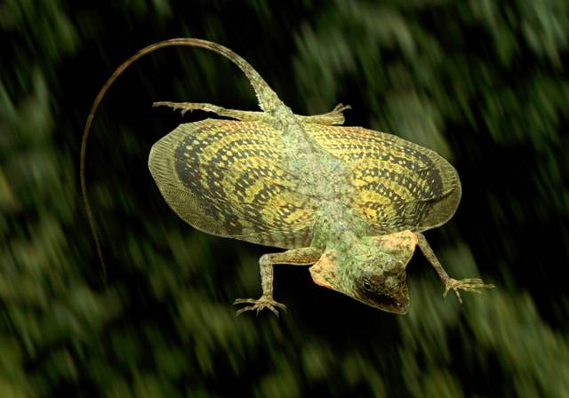 Jsem z rodu klouzavých ještěrek Draco. Lidé si mě mohou koupit pod jménem Dráček létavý, například v brooklynském obchůdku RC Enteprises na ulici 1102 E31 st. Jsem levný; stojím 18 dolarů (necelých 300 korun).