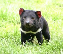 Na rozdíl od vakovlka (Thylacinus cynocephalus), který byl již zcela vyhuben, je velikost populace posledního australského masožravého druhu vačnatce ďábla medvědovitého (Sarcophilus harrisii) odhadována na počet mezi 20 000 – 50 000 jedinci. Tito savci jsou však ohrožováni vzácným přenosným druhem rakoviny.