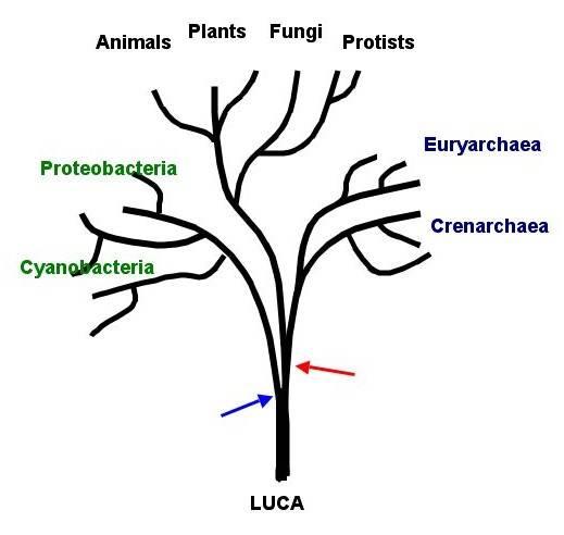 Podle Darwinovy teorie se každý organismus vyvinul ze svého předka. Jak ale vypadal úplně nejstarší předek, z něhož se před miliardami let vyvinulo všechno ostatní? Vědci pro něj mají něžné jméno LUCA (Last Universal Common Ancestor) a prostřednictvím nejmodernějších metod se snaží vypátrat, jak asi vypadal.