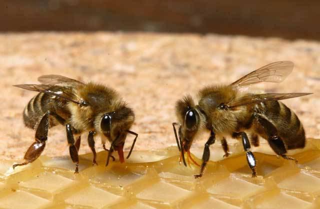 Včelí kolonie jsou jedním z nejkomplikovanějších společenství, která lze v přírodě najít. Tajemství jejich orientace v prostoru, vyhledávání zdrojů potravy, dělby práce a dalšího rozdělení  rolí ve společenství odhalují vědci již řadu let. Počítačové modelování pomáhá v poslední době odhalit mnoho z dříve netušených kvalit těchto pilných tvorů.