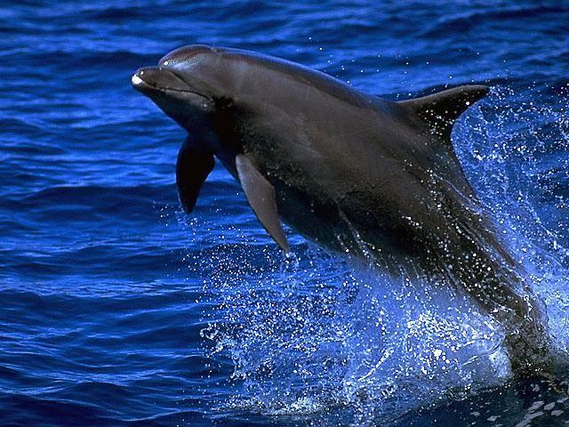 Kytovci, savci žijící po celý život ve vodě, si vyvinuli unikátní způsob, jak nechat mozek odpočinout a zároveň zůstat ostražitými vůči nebezpečí v podobě predátora či soka v lásce. Výzkumy, které nedávno prováděli američtí vědci s delfíny ukazují, že jejich způsob spánku je neuvěřitelně efektivní.
