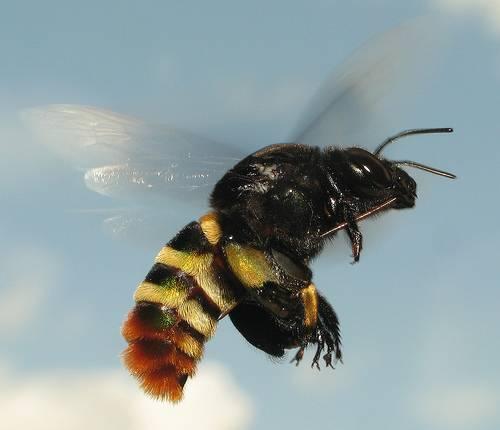 Vítr dokáže čas od času potrápit i tak velké a těžké organismy, jako jsme my lidé. Ve světě hmyzu, kde každé zbytečné máchnutí křídlem stojí vzácnou energii, je však vítr takřka veřejným nepřítelem číslo 1. Jak si s jeho zlomyslnostmi dokáží poradit včely?