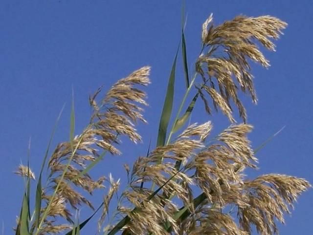 Jak souvisí invazivní rozšiřování jistých druhů plevelných rostlin se změnami globálního klimatu? Američtí vědci nedávno přišli se zjištěním, že souvislosti jsou sice skryté, o to však významnější.