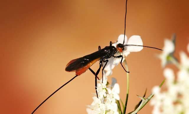 """Spolupráci čili symbiózu mezi různými živočišnými druhy můžeme v přírodě vidět takřka na každém kroku. Koráli si """"ochočili"""" mořské řasy, mravenci mšice a my lidé třebas krávy nebo kočky. Rafinovaná spolupráce mnohobuněčného organismu s virem, to už je ale jiná káva! Francouzští vědci nedávno odhalili, jak si virus """"domestikovaly"""" parazitické vosičky."""