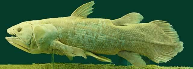 """Zatímco některé druhy či vyšší skupiny vyhynou záhy poté, co přišly na svět, jiným se z něj příliš nechce. Takové druhy přežívají buď ve zcela specifickém prostředí, kam se jejich konkurenti prostě neodvážili, nebo jsou naopak tak silné, že jim evoluční úspěšnost byla prostě předurčena. Takovým organismům říkáme """"živé fosilie"""", neboť své nejbližší příbuzné ztratily již před dávnými miliony let."""