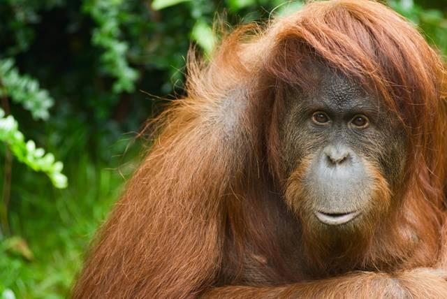"""Po dlouhá desetiletí prakticky žádný z vědců nepochyboval, že nejbližšími příbuznými lidí jsou afričtí šimpanzi. Žijí na stejném místě jako předkové dnešních lidí, mají s námi nejvíce společných genů, tak o čem pochybovat? Co když je to však jen další vědecký mýtus a naši nejbližší příbuzní jsou """"stromoví lidé"""" z Indonésie – orangutani?"""