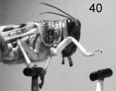 Otázka, jak vlastně chodí hmyz, může skutečně napadnout jenom vědce. Když se pak takový vědátor, například z prestižní britské univerzity v Cambridge, vybaví vysokorychlostní kamerou a obrní trpělivostí, zjistí zajímavé věci. Například to, že kobylky se při chůzi orientují zejména zrakem. Stejně jako lidé.