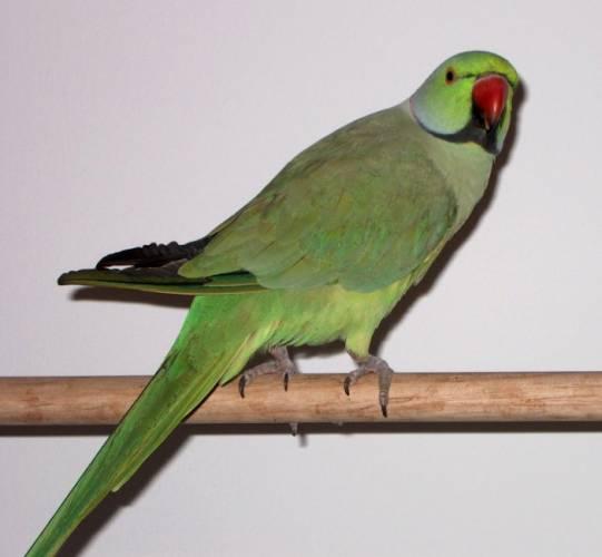 Výrazně zelený papoušek s červeným zobákem alexader malý zjistil, že Evropa je docela dobré místo k životu a začal se na našem kontinentě šířit jako lavina. Nedávno jej vědci museli dokonce zařadit mezi nebezpečné invazivní druhy, protože je zde reálné nebezpečí, že by mohl vytlačit původní druhy ptáků a stát se i vážným zemědělským škůdcem.