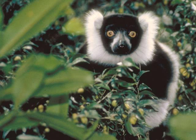 """O původu svébytné a tajemné fauny """"ostrova lemurů"""", Madagaskaru, vedli vědci dlouhé spory. Podle jedné z teorií na něj přešla zvířata ještě suchou nohou, tedy po pevninském mostě, podle druhé připlula na osamocených """"vorech"""" tvořených kusy vegetace. Studie nedávno publikovaná v časopise Nature přinesla přesvědčivé argumenty pro druhou z nich."""