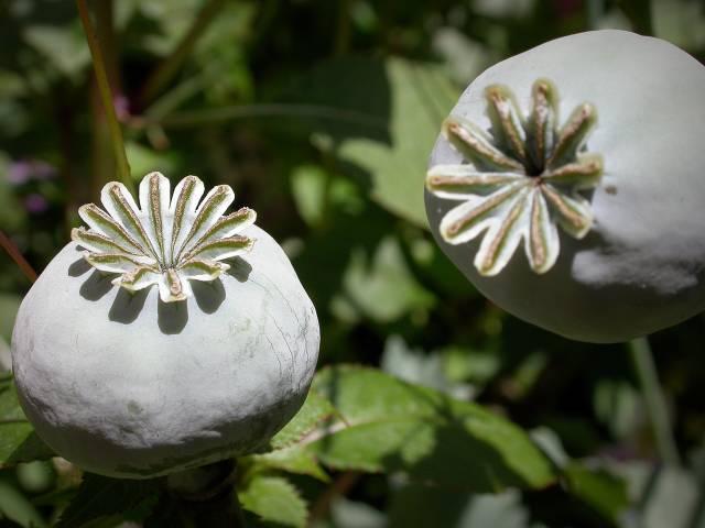 """Mák je jednou z neproblematičtějších rostlin na světě. Některé z jejich takzvaných """"sekundárních metabolitů"""", neboli látek, které v rostlině vznikají během jejího zrání a růstu, patří mezi takzvané psychoaktivní látky (kodein, morfin). Kanadští genetikové nedávno přišli s objevem, jak vlastně mák vyrábí ceněný kodein."""