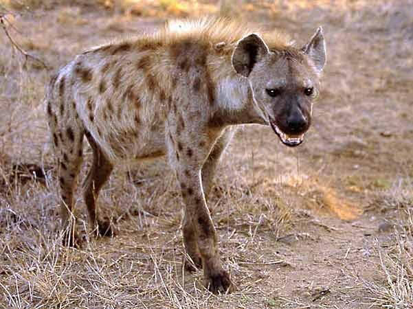 """Snad každému, kdo buď v divoké přírodě či zoologické zahradě někdy zaslechl zvláštní """"chechtavý"""" hlas hyen skvrnitých, přeběhl mráz po zádech. Tímto zvukem, který skutečně nápadně připomíná lidský smích, oznamují hyeny ostatním členům své smečky, jakou roli v ní hrají. Tvrdí alespoň zoologové z univerzity v americkém Berkeley."""