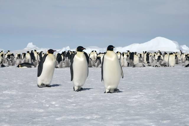 Vědci z Národní vědecké nadace USA nyní podrobně studují v Antarktidě fyziologii tučňáků císařských. Nejde jim totiž do hlavy, jak je možné, že se tito tučňáci dokážou bez problémů potápět za potravou až 300 metrů pro hladinu.
