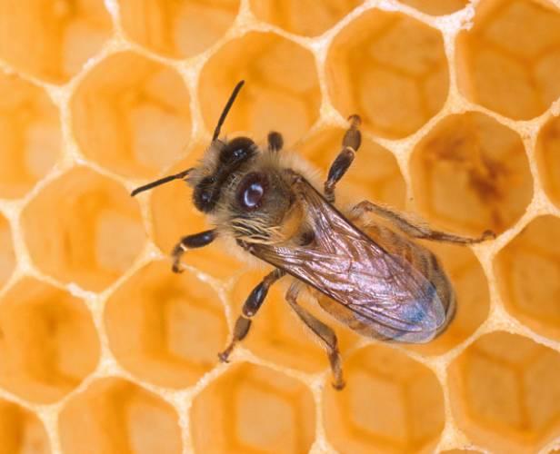 Podle nejnovějších zjištění může být výborným pomocníkem při léčení zhoubného bujení i jiných civilizačních onemocnění med. Má historii mnohem starší než lidstvo. V různých obdobích se měnily názory na jeho léčivé účinky.