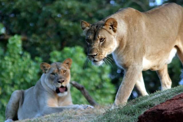 """Na čem si nejraději smlsnou afričtí lvi? Přece na zebrách, pakoních či antilopách. Čas od času se však někteří z nich """"vymknou z kloubů"""" a namísto své obvyklé potravy začnou konzumovat tvory, z nichž mají obvykle strach – lidi. Nedávno publikovaná studie kalifornských ekologů ukázala, že o chování lvů, zvláště těch lidožravých, stále mnoho nevíme."""