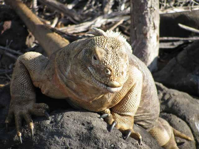 """Kdybyste byli obyvateli tichomořských ostrovů Fidži a Tonga a dostali za úkol plavit se k nejbližší pevnině, jistě byste zvolili směr západní. Do Austrálie je to na tichomořské poměry coby kamenem dohodil – """"pouhých"""" 2000 km. Biologům proto dlouho vrtalo hlavou, proč mají zdejší druhy leguánů své nejbližší příbuzné až v mnohem vzdálenější Americe. Na stopě řešení záhady jsou dnes američtí vědci."""