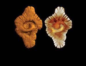 V Gabonu v západní Africe byly nedávno objeveny fosílie staré podle všeho asi 2,4 miliardy let. To by ještě nebylo nic tak zvláštního, kdyby nebyly velké bezmála jako lidská dlaň. Prakticky vzápětí se rozhořela debata, co vlastně nám objev nejstarších makrofosílií napovídá o dějinách života.