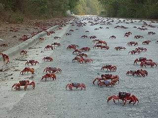 """Spontánní migrace miliónů krabů nachových (Gecarcoidea natalis) za pářením ze souše do moře je jedinečný a podle očitých svědků neobyčejně fascinující jev. Britští vědci nedávno přišli s důkazem, že milióny krabích těl dokáží """"přešaltrovat"""" z klidového do pochodového režimu díky hormonálním změnám."""