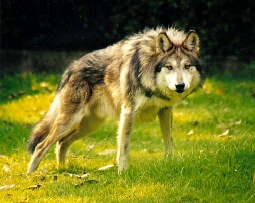 Návrat mexického poddruhu vlka do divoké přírody se potýká s velkým odporem místních farmářů, kterým vlci zabíjejí jejich ovce. Americký biolog se spojil s psychologem a společnými silami se snaží vlky naučit, že ovce nejsou k jídlu.