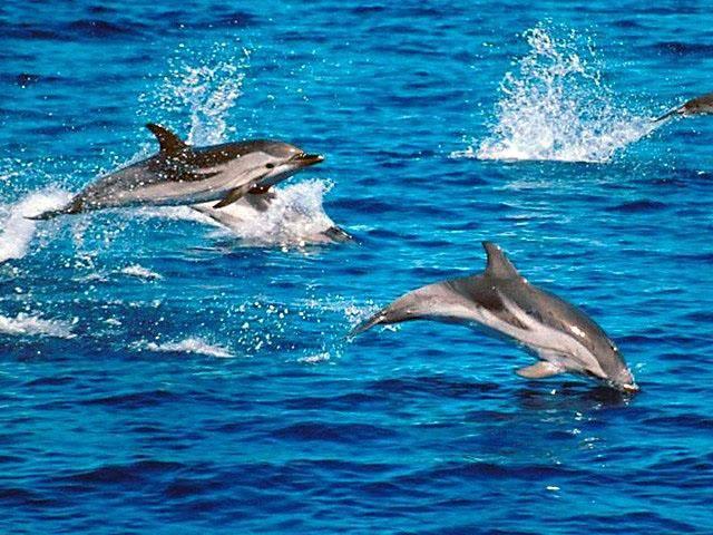 Sonary jsou zařízení, které využívají k vytvoření obrazu předmětu ve vodě odražený zvuk. Cestu k přesnému výsledku jim však v mělkých vodách často komplikují drobné bublinky. Britští vědci proto nedávno vyvinuli sonar podstatně přesnější. Svou inspiraci nalezli u odborníků na slovo vzatých – u delfínů.