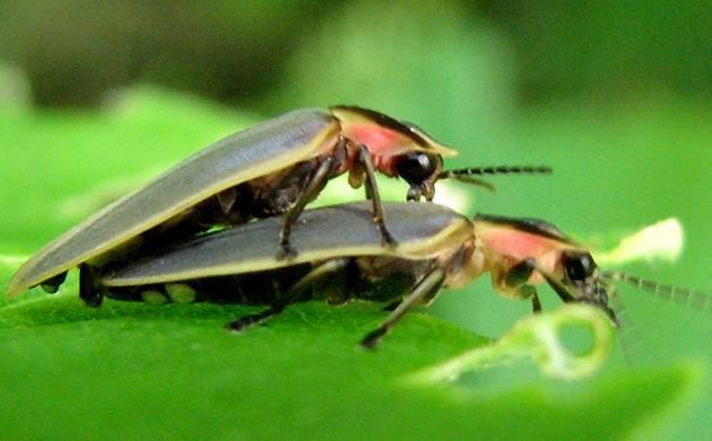 U malého procenta druhů světlušek, lidově zvaných »svatojánků« či »svatojánských mušek« se vyvinula zvláštní schopnost. Letící samečkové dokážou zapínat a vypínat své »lucerničky« naráz, jakoby na popud neviditelného dirigenta. Tajemství této podivuhodné synchronizace nedávno rozlouskli američtí vědci.