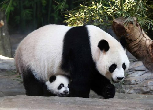 Mother giant panda Juxiao is seen with one of her triplets at Chimelong Safari Park in Guangzhou, Guangdong province, December 9, 2014. According to local media, this is the fourth set of giant panda triplets born with the help of artificial insemination procedures in China, and the birth is seen as a miracle due to the low reproduction rate of giant pandas. REUTERS/Stringer (CHINA - Tags: ANIMALS SOCIETY) CHINA OUT. NO COMMERCIAL OR EDITORIAL SALES IN CHINA - RTR4H8FR