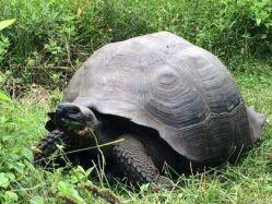 Na Galapágách objeven nový druh obří želvy