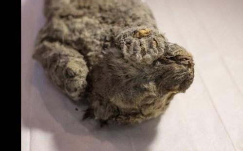 Na Sibiři byl nalezen jeskynní lev