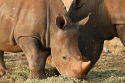 Strážce nosorožců? Práce s prstem na spoušti