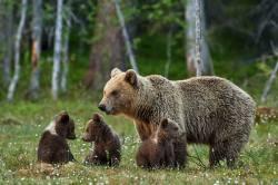 Nečekaná strategie medvědího přežití