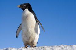 Přes 100 let stará studie sexuálního chování tučňáků byla natolik šokující, že narazila na cenzuru