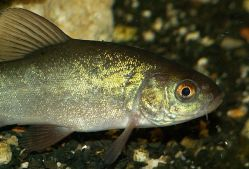Jak zachránit ryby v rybnících?