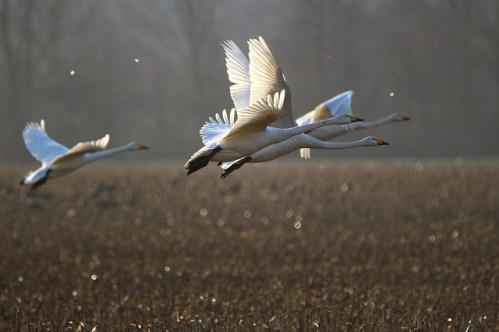 Technologií proti ptactvu: Nizozemci vymysleli laserový plašič s umělou inteligencí